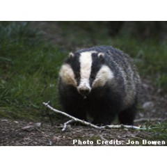 Barratt West Midlands - Badger monitoring & licence, CSH Ecology Assessment image 1