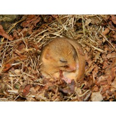 Herefordshire Nature Trust - Dormouse monitoring programme & woodland management advice image 1