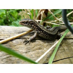 Two Rivers Development Ltd. - Reptile Translocation, Forest of Dean, Gloucestershire -  image 1