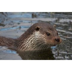 British Waterways Birmingham Canal Water Vole and Otter Survey image 1