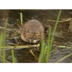 Environment Agency - Water vole monitoring along Battlefield Brook image 1